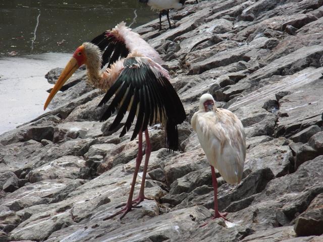翼を広げて「ディスプレー」しているの?、アフキカトキコウ(コウノトリ科)、手前は、ほら、干潟のクロツラヘラサギと同じ、長いくちばしを、「箸置き」みたいに背中に休ませている、アフリカヘラサギ(トキ科)。