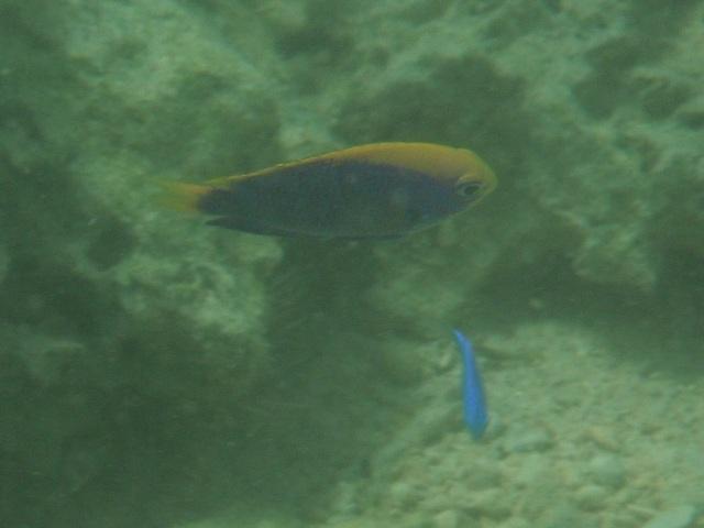 セナキルリスズメダイ(スズメダイ科)。「ツートンカラー」の魚は結構多い!、でも水の中では頭ぼけてるから、オレンジと青、どっちが上だったっけ?、思い出せないことが多い。