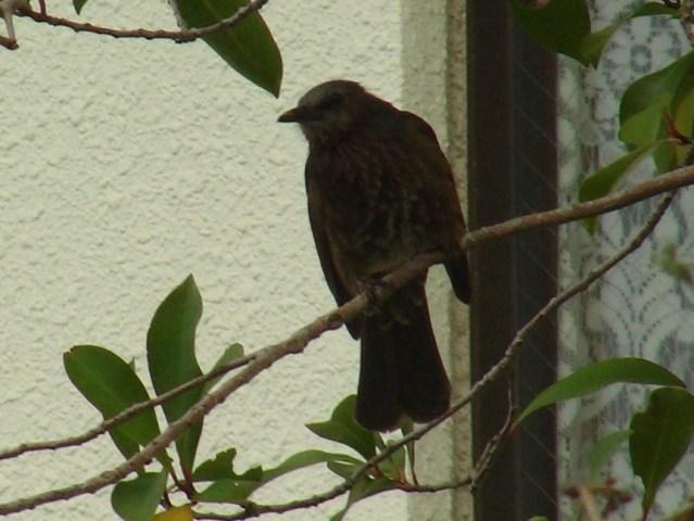 今日は、ヒヨドリによく出会う日だ♪、近くのサクラの木に集うメジロ(メジロ科)やシロガシラ(ヒヨドリ科)を、「追い払って」いたぞ!、ヒヨドリ(ヒヨドリ科)。