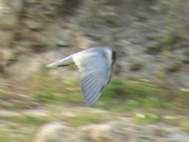コアジサシ(カモメ科)、「飛翔」、その5:海面の「獲物」をうかがっているからなのか?、首をこんなに下に曲げているのだね。