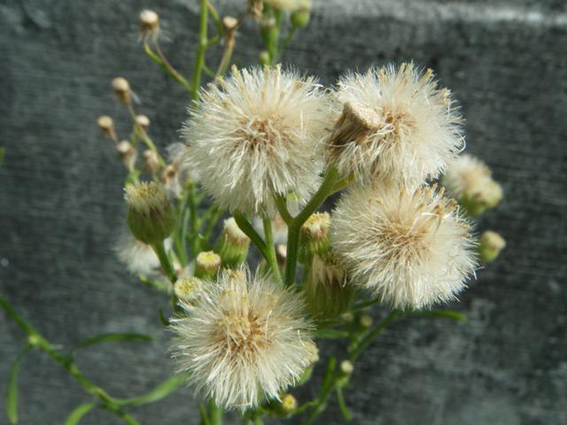 アレチノギク(キク科)。舌状花をもたない花、かつ、他のアザミ状花のように、鮮やかな色でもない。だから、「綿毛」化しないと、気がつかない。