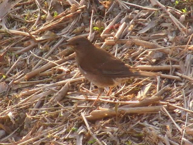 すっかり草を刈られた土手では、シロハラ(ツグミ科)が餌探しに余念がない。嘴で枯れ葉をひっくり返しては、虫を探すのだ。