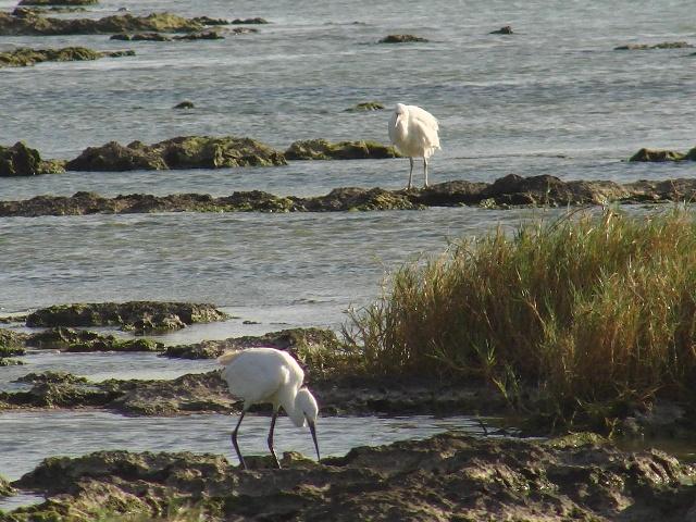 「異種」・遠近法。奥、クロサギ(白色型・サギ科)、「留鳥」。手前、コサギ(サギ科)、本・来・、「冬鳥」だが、この島で営巣、育雛することもあるらしい。