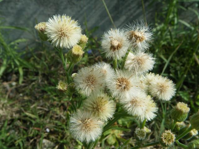 アレチノギク(キク科)。「夏」の、花ではなかったかしら?、そんな、「夏」のような日和に。