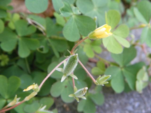 カタバミ(カタバミ科)、この花は、今から開くのか?、そして、実鞘。
