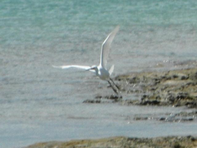 今日は「長潮」の満潮。観光客も多いけど、すでに到着したシギ類も餌探しに忙しい。クロサギ(サギ科・白色型)、近づきすぎたら、飛び立った。