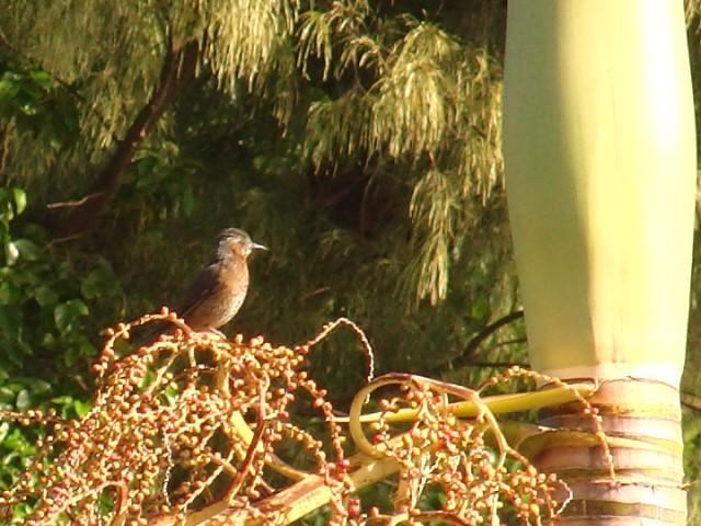 「南国」風、ヒヨドリ(ヒヨドリ科)。これは、ヤシの一種の、多分、種子。もう一羽いて、盛んに食べていたぞ!