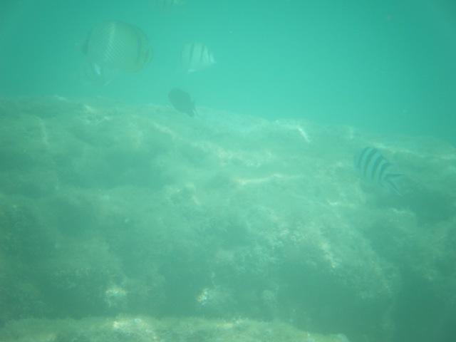 干潮時「テーブル」状サンゴ「上空」の魚群。左上、フウライチョウチョウウオ(チョウチョウウオ科)、その隣、シマハギ(ニザダイ科)、その下、クロスズメダイ(スズメダイ科)、成魚は黒い!、右、ロクセンスズメダイ(スズメダイ科)。