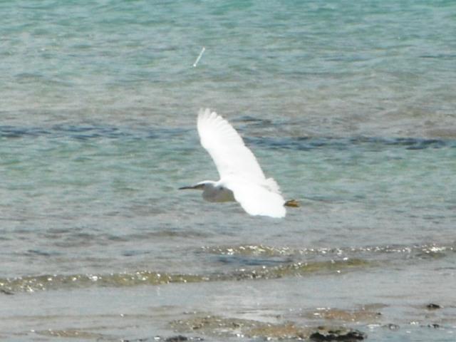 クロサギ(サギ科・白色型)、「優雅に」眼前を、通過。翼を上げる。