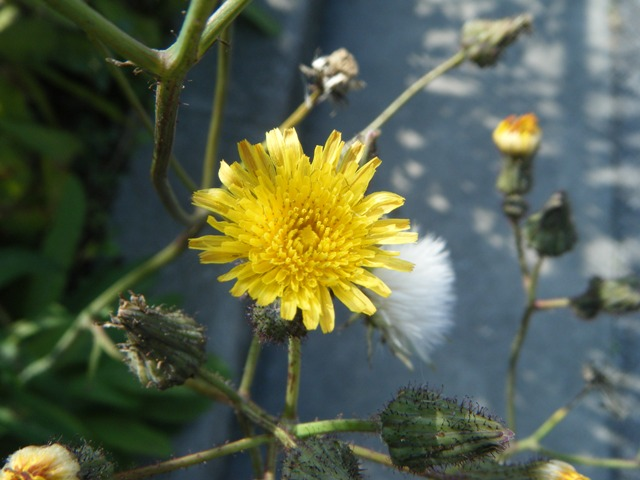 タイワンハチジョウナ(キク科・ハチジョウナ属Sonchus)、花と蕾と、綿毛。
