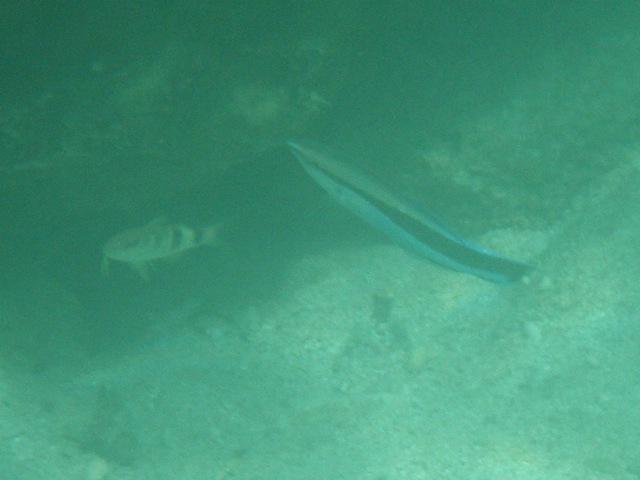 遠近。右、「掃除魚」ホンソメワケベラ(ベラ科)。左、ずっと奥の方なのだけど、オジサン(ヒメジ科)の幼魚なのだろう、ずいぶん、小さい。