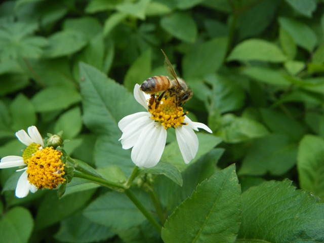 セイヨウミツバチ、シロノセンダングサ(キク科)上。まだ「花粉籠」は、空っぽ。