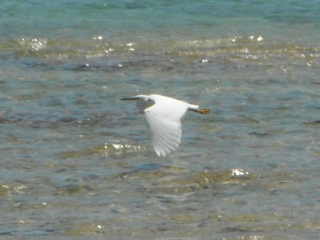 クロサギ(サギ科・白色型)、「優雅に」眼前を、通過。そして、翼を下げる。