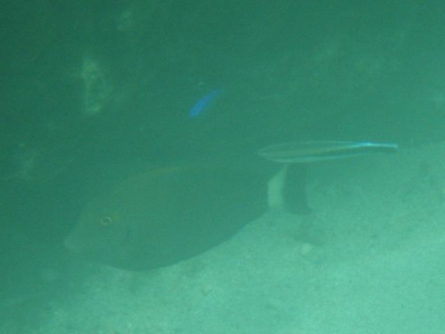 ホンソメワケベラ(右)、ニザダイ科と思われる魚を、「掃除」中?、上、ルリスズメダイ(スズメダイ科)。