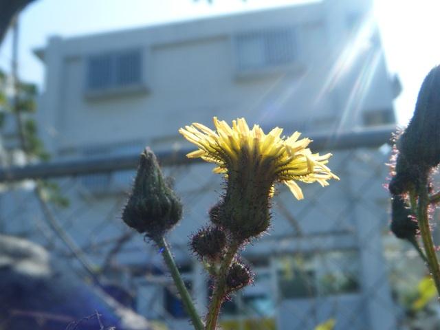 タイワンハチジョウナ(キク科・ハチジョウナ属Sonchus)、花。日射し。