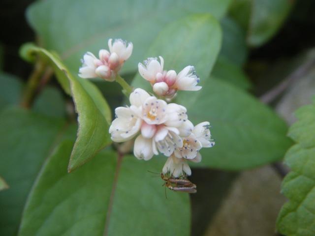 ツルソバ(タデ科)。お、写真を撮るときは全然気づかなかったが、小さな蜂のような昆虫、交尾中!