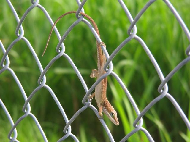 生態系の撹乱者として評判の悪い、言入手グリーン・アノール、なのか?、それとも、在来種、キノボリトカゲ、なのか?、さすがに「爬虫類」は、どこを見れば区別できるのかさえ、わからなくて。