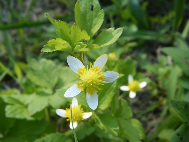 これもキンポウゲ科、シマキツネノボタン。花から実へ向かって、花びらが白く「脱色」していくのだ。