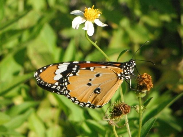 すっかり、カバマダラ(マダラチョウ科)の季節、になった。このシロノセンダングサ(キク科)の花、もう、しぼんでるように見えるんですけど?