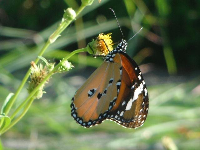 すっかり、カバマダラ(マダラチョウ科)の季節、になった。しぼみかけの花の方が、「食べごろ」だったりするの?
