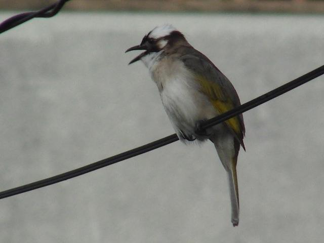 歌う、電線上、シロガシラ(ヒヨドリ科)。