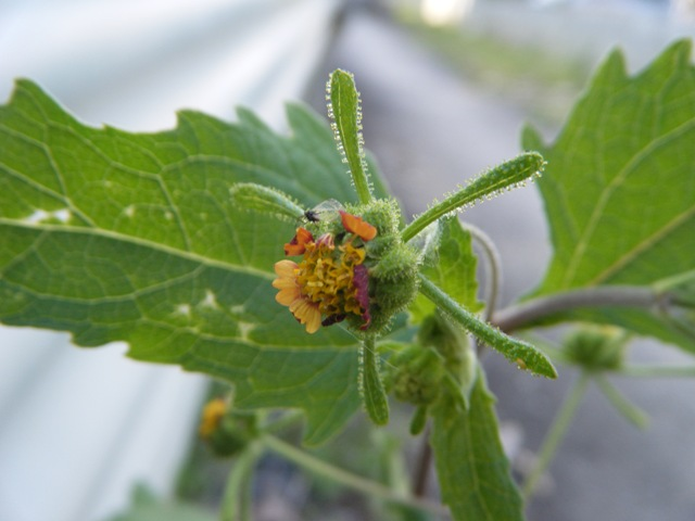 ツクシメナモミ(キク科)。花が終わって実ができかけているところ。まわりのオレンジ色が鮮やか♪