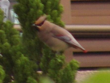 「新種」発見♪、緋連雀(ひれんじゃく)!!、ヒレンジャク(レンジャク科)。「旅鳥(Passage_Viditor)」、渡りの途中に、小群で飛来、数日間滞在、とのこと。なるほど、たしかに数羽いた。