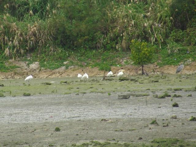 干潟のクロツラヘラサギ(トキ科)。集団で「箸置き型」・休憩中。すくなくとも五羽、いる。世界に数百羽しかいない、とも言われているのに・・・。右端は「他人」のような?、アオサギ(サギ科)。