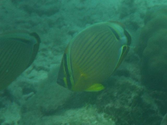 ミスジチョウチョウウオ(チョウチョウウオ科)、と思われる。水の中では「記憶力」が、弱い。見つけた時は別種の、チョウチョウウオ、だと思っていた。
