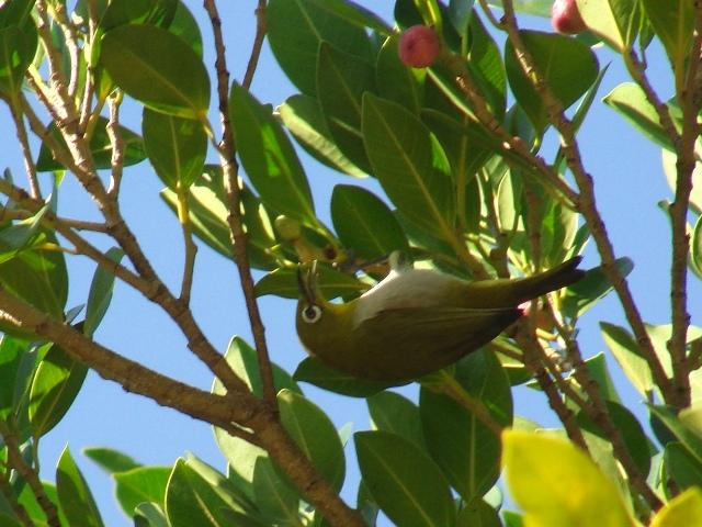 早朝の公園のガジュマルは、いつの間にか実ができたから、メジロ、ヒヨドリ、シロガシラ、など、「大繁盛」♪、これは、「逆さ」メジロ(メジロ科)。「舌」が見えてるよ。