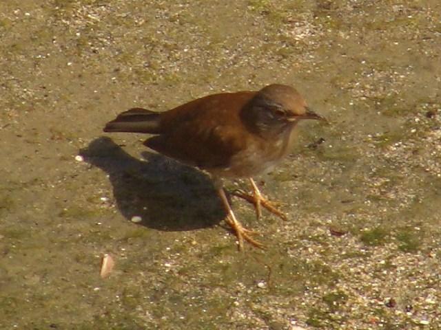 今日も、「つぐみ族」渡り鳥・三種♪、すべて、目撃。まず、シロハラ(ツグミ科)。堤の泥の上で採餌。さっきまでツグミ(ツグミ)もいたが、双眼鏡を向けると、早々と「逃げた」。