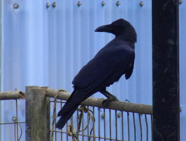 ハシブトガラス(カラス科)、近影。非常に「知能」の高い鳥だと言われている。カメラに手を触れただけで、そ・う・と、気付かれてしまう。