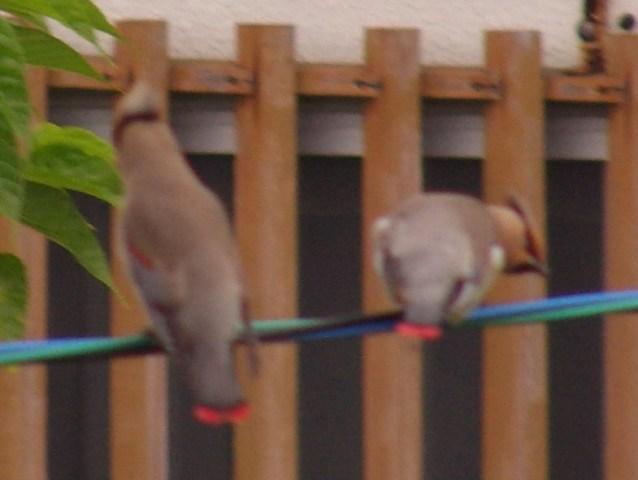 「新種」発見♪、緋連雀(ひれんじゃく)!!、ヒレンジャク(レンジャク科)。電線に5〜6羽、一斉に並んだ。緊張しつつ、ピントを合わせようと、一歩近づいた瞬間、一斉に、飛び去った・・・。