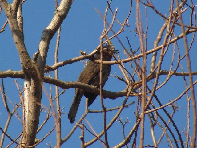 早朝の公園の、ガジュマルの隣の、これは何の木だろう?、「亜熱帯」に落葉樹はむしろ珍しい。ヒヨドリ(ヒヨドリ科)。ガジュマルの実を食べて、少し休憩中、なのか?