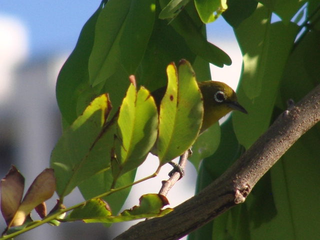 早朝、これは、ナンバンサカイチ(マメ科)、の木かな?、メジロ(メジロ科)。ほら、こんな風に、隠れる!
