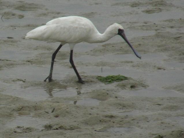 干潟のクロツラヘラサギ(トキ科)。先のとがっていない「くちばし」が、やすやす入っていくほど、「ミルクセーキ」並みに(!)柔らかい泥なのである。沈まずに「器用」に、歩く!