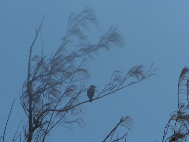 海岸のモクマオウの樹上高くに見慣れない鳥影。これもサンコウチョウ(カササギヒタキ科)、だったのか?、尾が短い雌なら、鳴かなかったし・・・、あり得る?