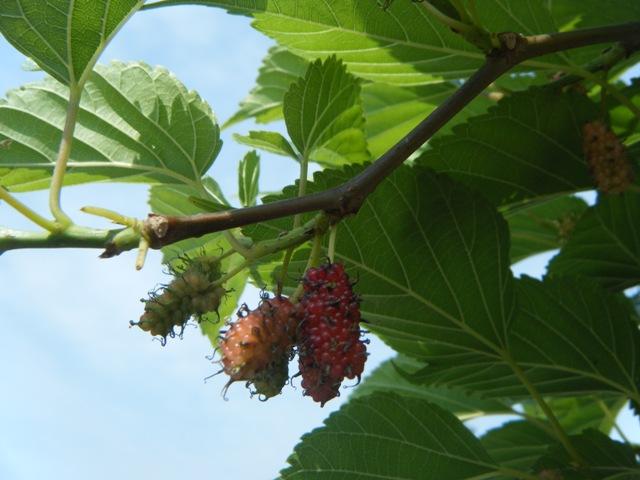 シマグワ(クワ科)。やや、「グロテスク」な、果実。