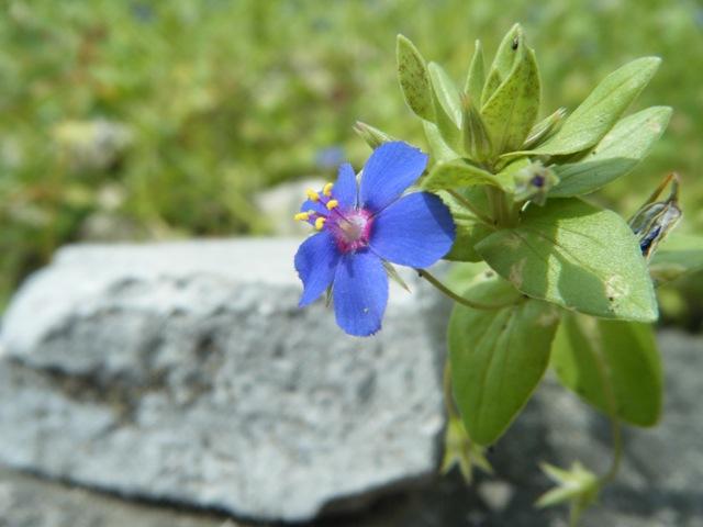 少しだけ日が射した。やはり「花」の写真は、「明るい」に、限る!、ルリハコベ(サクラソウ科)。