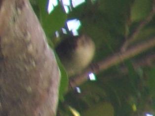 枝の隙間からのぞかせた「顔」、特徴的な「過眼線」、間違いない!、が、写真は、ほら、手元が震えて・・・。ウグイス(ウグイス科)。
