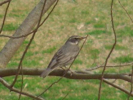 今日も、「つぐみ族」渡り鳥・三種♪、すべて、目撃。それにしても、茶色がかった翼の色は、光の具合で特に色合いが変わりやすく思える。少し「感じ」が違うが、・・・、ツグミ(ツグミ科)。