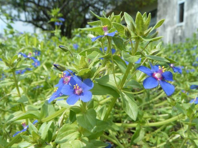 ここは近所の「園芸家」のお庭。きっと「肥料」などの手入れが行き届いているからなのだろう?、ルリハコベ(サクラソウ科)、「お花畑」。もちろん、「雑草」は間もなく刈り取られてしまうのだけれど・・・。