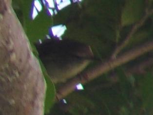 「留鳥」のウグイス(ウグイス科)は、い・つ・だ・っ・て・、すぐそこにいる!、声が聞けただけで「ラッキー♪」だ、と思えば、よい。