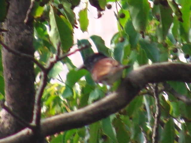 ヒヨドリやメジロが集って居る公園の樹木に、突然、やってきた。雌だから、鳴かないから、「月・陽・星」なる有名な「鳴き声」は聞けなかったけれど。サンコウチョウ(カササギヒタキ科)。