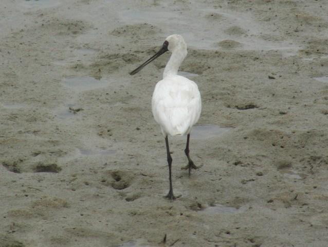 干潟のクロツラヘラサギ(トキ科)。「ミルクセーキ」のように、やわらかい泥の上を、す・た・す・た・、歩く。