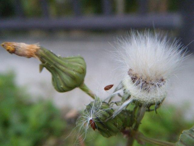 ふたたび「冬」に戻ってしまった、「陰鬱」な午後(!)、ハルノノゲシ(キク科・ハチジョウナ属Sonchus)、の「綿毛」まで(!)、「寒々」と・・・。