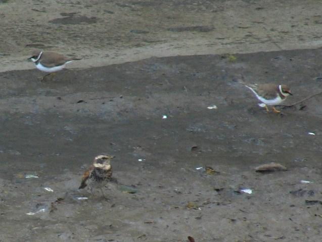 毎日、一羽だけ、水辺に採餌に、現れる、ツグミ(ツグミ科)。傍にいるのは、「水鳥」コチドリ(チドリ科)。