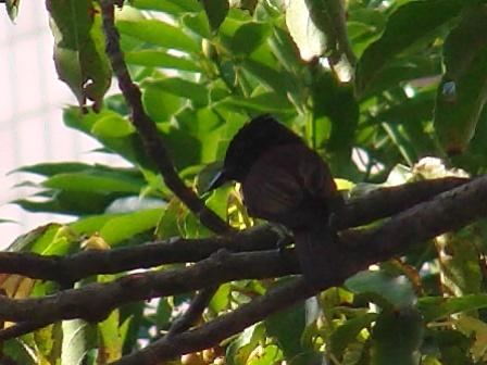 夏鳥(Migrant_BreederもしくはSummer_Visitor)、ってことは、こちらで、営巣、育雛の後、間もなくもっと「南」へ、帰るわけだ。サンコウチョウ(カササギヒタキ科)。