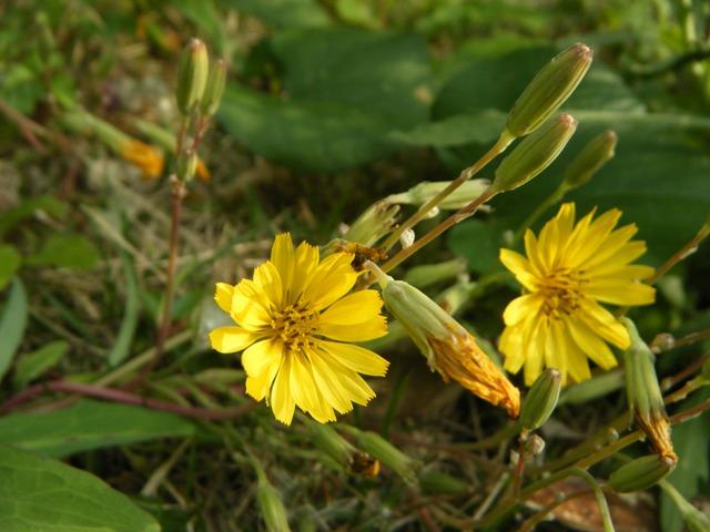 ホソバワダン(キク科)か?、海岸ではないのに、森林公園の中なのに、唐突に一群れだけ、咲く。