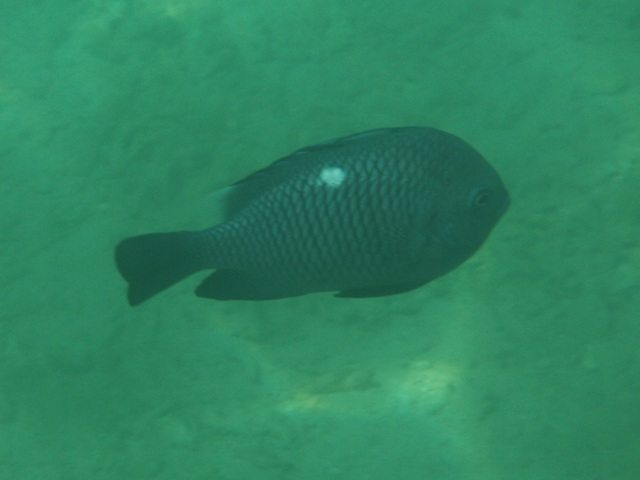 ミツボシクロスズメダイ(スズメダイ科)。魚にも「ひとなつこい」種、というものがあるとすれば、きっと、これは、そうだ。「物珍しそうに」、近寄ってくる。